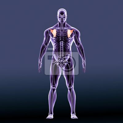 3d-darstellung von scapula - teil des menschlichen skeletts ...