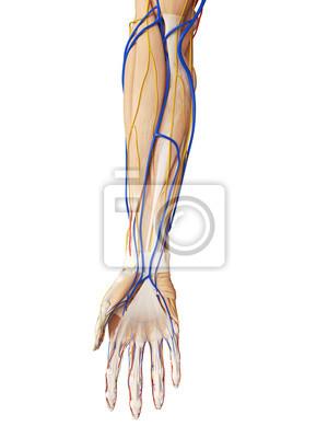 3d gerendert medizinisch genaue darstellung der arm anatomie ...