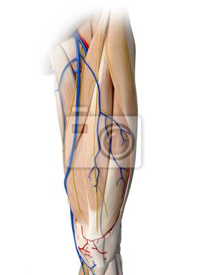 Fototapete: 3d gerendert medizinisch genaue darstellung der bein anatomie