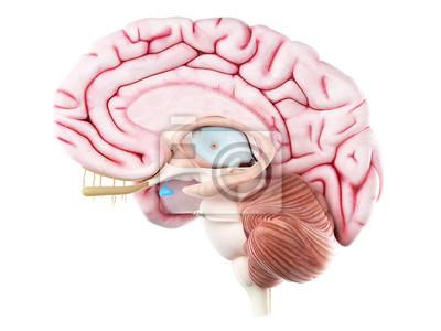 3d gerendert medizinisch genaue darstellung der hypophyse fototapete ...