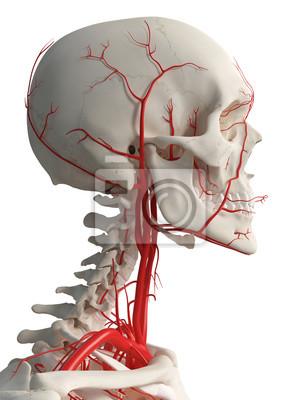 3d gerendert medizinisch genaue darstellung der kopf arterien ...