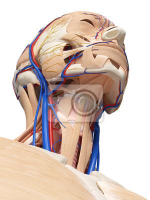 3d gerendert medizinisch genaue darstellung der kopf-und hals ...