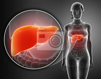 3d render of male liver anatomy fototapete • fototapeten Rachen, 3d ...