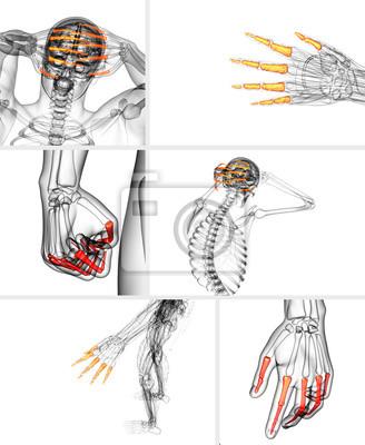3d-rendering-darstellung der menschlichen phalangen hand fototapete ...
