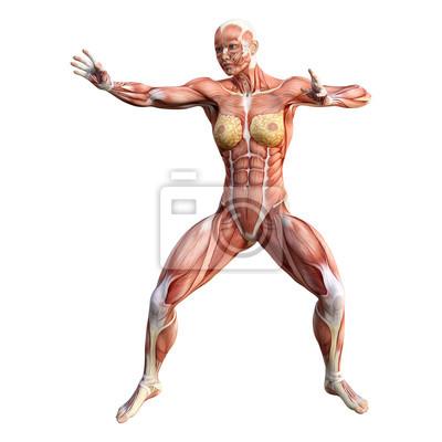 3d rendering female anatomy figure on white fototapete • fototapeten ...