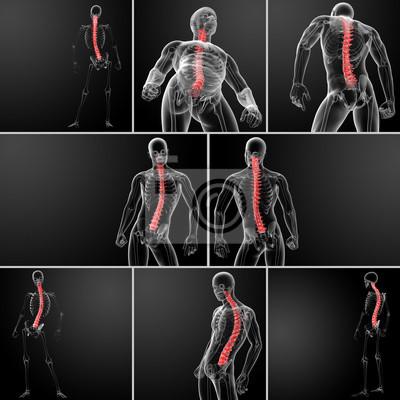 3d rendering menschliche wirbelsäule anatomie fototapete ...