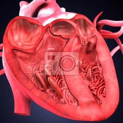 3d übertragen von der herzanatomie des menschlichen körpers ...