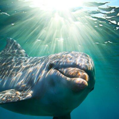 Fototapete A dolphin underwater with sunbeams. Closeup portrait