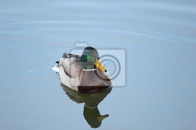 A mallard swimming in calm water