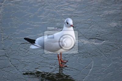 A sea gull walking on ice in winter