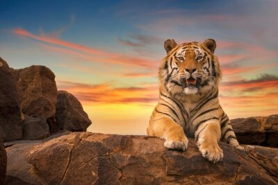 Fototapete A solitary adult Bengal tiger (Panthera tigris) looking at the camera from the top of a rocky hill, with a beautiful sunset sky in the background.