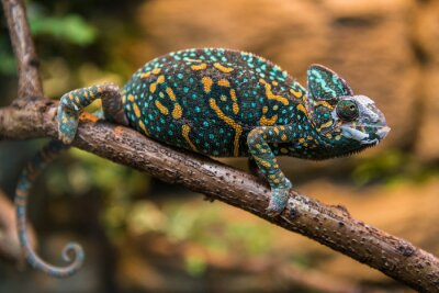 Fototapete A veiled chameleon lizard