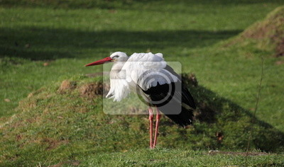 A white stork (Ciconia ciconia) standing on grassland