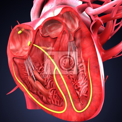 Abbildung 3d der menschlichen herzanatomie fototapete • fototapeten ...