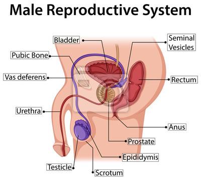 Abbildung zeigt männliches fortpflanzungssystem fototapete ...
