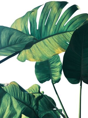 Fototapete Abstract tropical green leaves pattern on white background, lush foliage of giant golden pothos or Devil's ivy (Epipremnum aureum) the tropic plant..