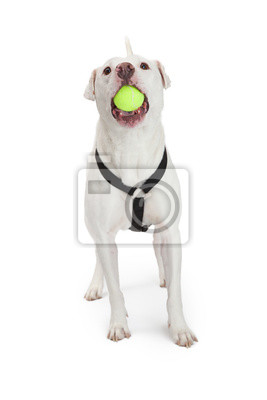 Fototapete Active Dog With Tennis Ball in Mouth