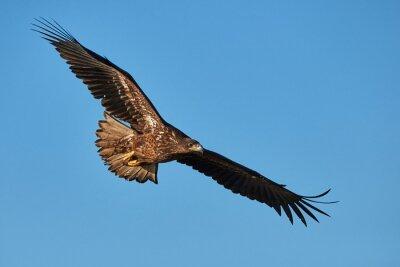 Fototapete Adler im Flug