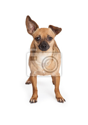 Fototapete Adorable Chihuahua Mix Breed Dog Standing