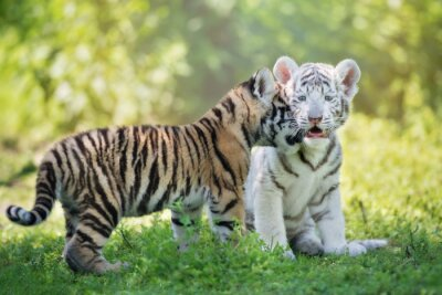 Adorable liebevolle Tigerjunge im Freien