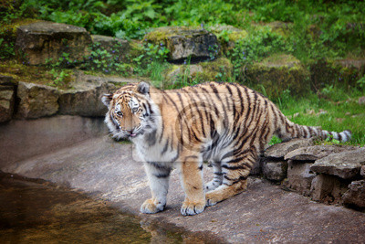adorable tiger near water