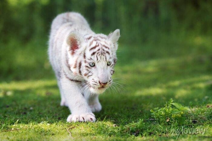 Fototapete Adorable weißen Tiger Cub zu Fuß auf Gras