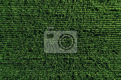 Fototapete Aerial view of green rows corn field in summer.