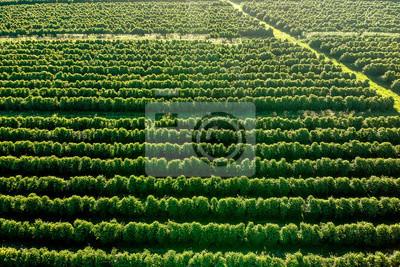 Fototapete aerial viewof green coffee field in Brazil