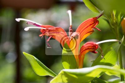 Aeschynanthus speciosus in der blte hbsche orange rote blumen fototapete aeschynanthus speciosus in der blte hbsche orange rote blumen zierpflanze thecheapjerseys Images
