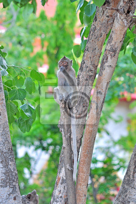 Affen (Long-tailed macaqu)