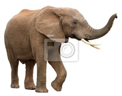 Fototapete African Elephant isoliert auf weiß