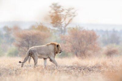 African lion in Kruger National park, South Africa