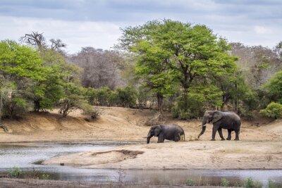 Fototapete Afrikanischer Busch-Elefant im Kruger Nationalpark