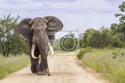 Afrikanischer Buschelefant in Nationalpark Kruger, Südafrika