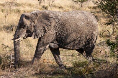 Fototapete Afrikanischer Elefant, der durch Etoscha-Nationalpark, Namibia geht