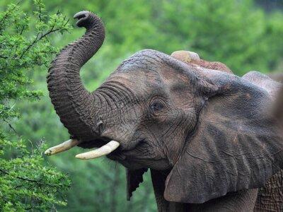 Fototapete Afrikanischer Elefant (Loxodonta africana)