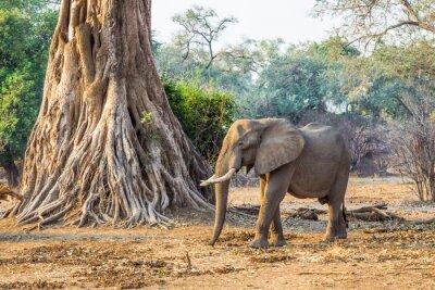 Fototapete Afrikanischer Elefant (Loxodonta), vorbei an einem großen Baum