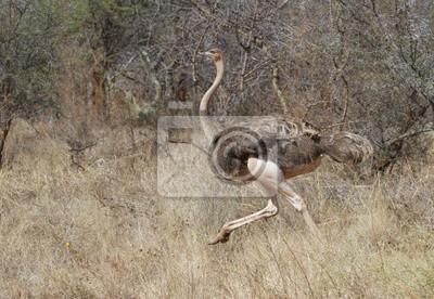 Afrikanischer Strauß Fomzle Struthio Camelus Der In Savanne