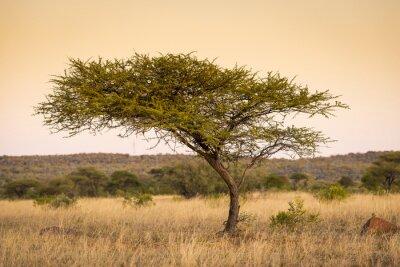 Fototapete Akazienbaum Afrika