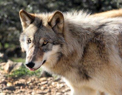 Fototapete Alaskisches Grauwolfportrait