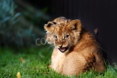 Fototapete Alert kleine Löwenjunge mit braunem Fell in outdoore