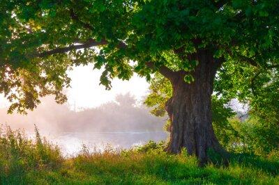 Fototapete Allein Eiche in voller Blatt im Sommer stehen