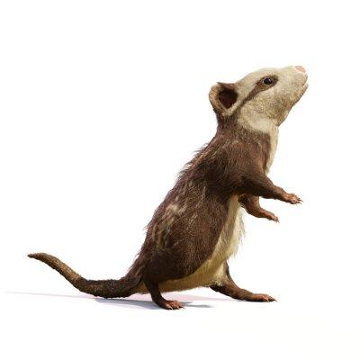 Fototapete Alphadon, extinct mammal that lived alongside dinosaurs, isolated on white background