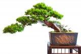satsuki azalee mit bl ten als bonsai baum fototapete fototapeten azalee peel freigeben. Black Bedroom Furniture Sets. Home Design Ideas
