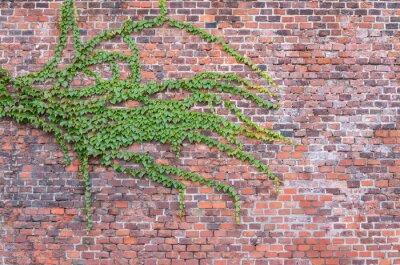 Fototapete Alte rote Ziegelmauer überwachsen mit Efeu