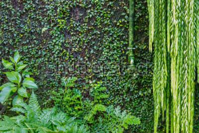 Fototapete Alter grüner Bewässerungshahn auf der Wand überwältigt mit grünem Efeu und Kriechpflanze, grüner Hintergrund des Gartens. Nasse grüne Pflanzen
