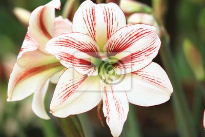 Amaryllis Weiss Mit Roten Lilie Blumen Bluhen Im Garten Fototapete