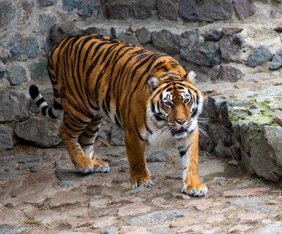 Fototapete Amur Tiger