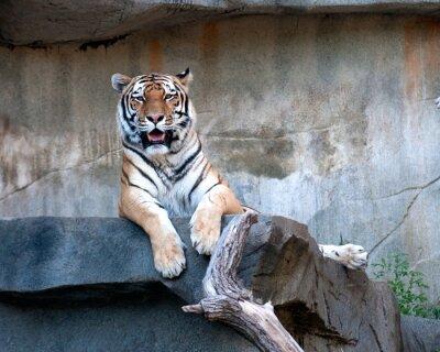 Fototapete Amur-Tiger
