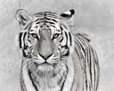 Fototapete Amur-Tiger (Panthera tigris altaica)
